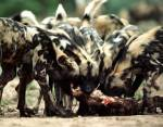 african_wild_dog_pack